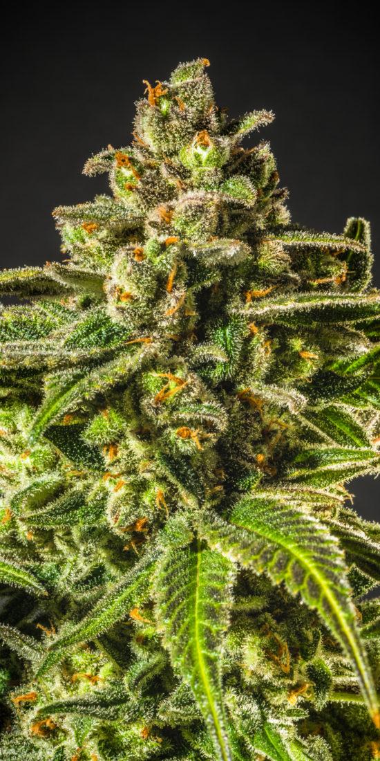 KYND Cannabis Flower
